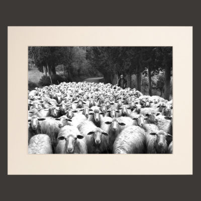 sheeps tuscany picture for sale black and white