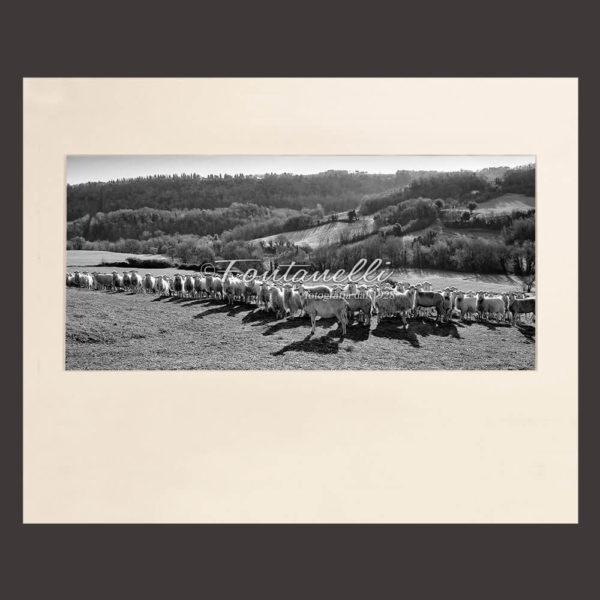 Foto in bianco e nero di pecore in fila